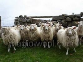 Шерстная продуктивность животных