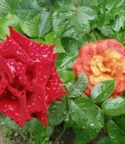 Шерстяная Роза
